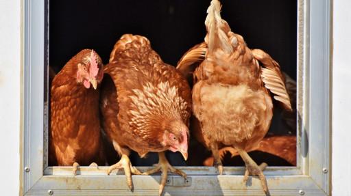 Élever ses poules à Montréal : constats et recommandations