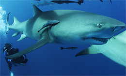 Projection et discussion: «Sharkwater Extinction»