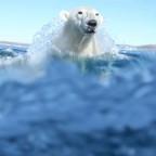 Conférence grand public sur les ours polaires, avec Mario Cyr